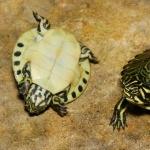 Cooter Turtles hd desktop