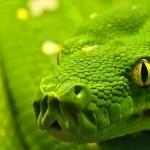 Corn Snake hd desktop