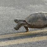 Desert Tortoise pics