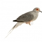 Diamond Dove breed