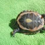 Eastern Box Turtle cute