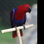 Eclectus Parrot desktop