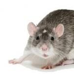 Fancy Rat breed