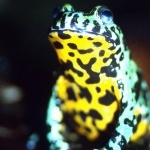 Fire Bellied Toad hd