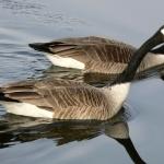 Goose free