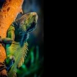 Green Iguana pics