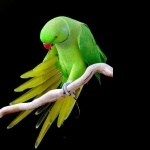 Indian Ringneck background