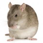 Medium Rat photos