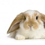 Mini Holland Lop (rabbit) 2016