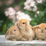 Mini Lop Rabbit photos