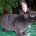 Mini Rex high quality wallpapers