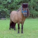 Miniature Horse hd wallpaper