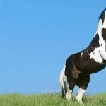 Mustang breed
