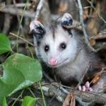 Opossum download