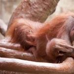Orangutan hd desktop