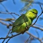 Parrotlet full hd