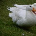 Pekin Duck breed