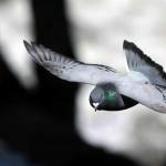 Pigeon hd