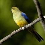 Pionus Parrot widescreen