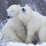 Polar Bears download