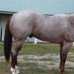 Quarter Horse X Appaloosa download