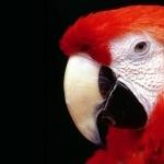 Scarlett Macaw wallpapers for desktop