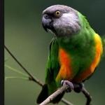 Senegal Parrot hd wallpaper
