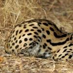 Serval hd photos