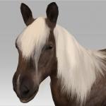 Shetland Pony 2016