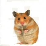 Teddy Bear Hamster free wallpapers