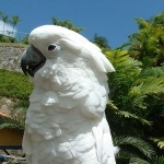 Umbrella Cockatoo free wallpapers