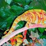 Veiled Chameleon free wallpapers