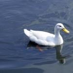 White Ducks pics