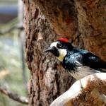 Acorn Woodpecker high definition photo