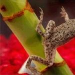 African Dwarf Frog background