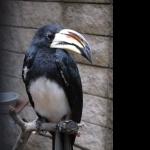 African Pied Hornbill wallpapers for desktop