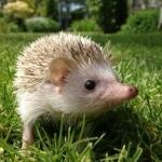 African Pygmy Hedgehog hd wallpaper