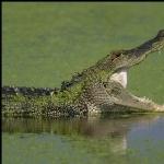 American Alligator 1080p