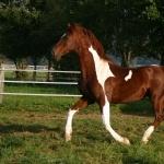 American Saddlebred free