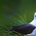 Campbell Albatross breed