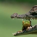 Crocodile widescreen
