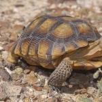 Desert Tortoise widescreen