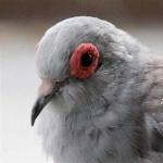 Diamond Dove hd photos