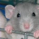 Dumbo Rat images