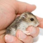 Dwarf Hamster cute