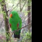 Eclectus Parrot 2016