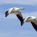 Goose 1080p