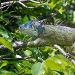 Green Iguana funny