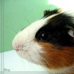 Guinea Pig new photos