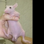 Hairless Rat images